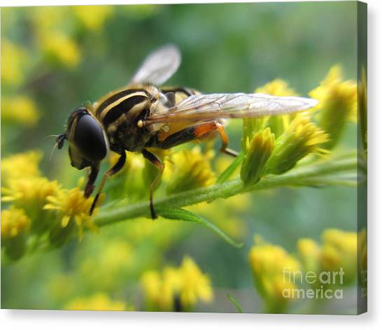Good Guy Hoverfly  Canvas Print