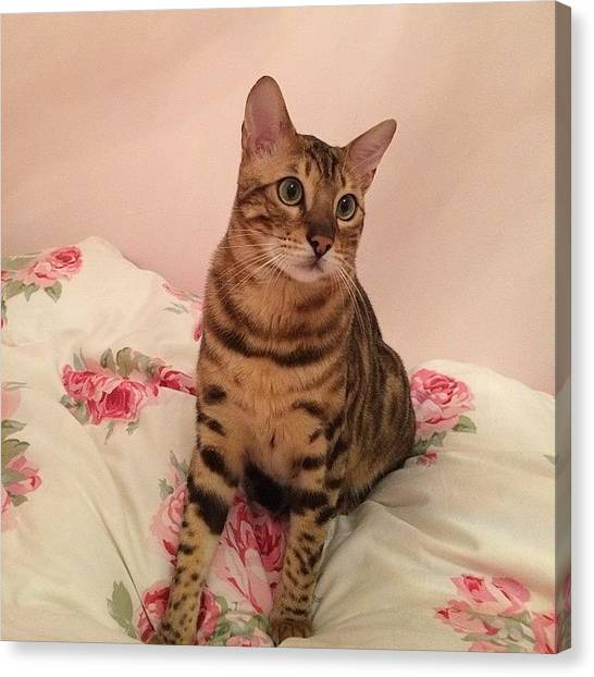 Bengals Canvas Print - Good Morning :) Billy #bengal @maclawuk by Ashley Grant