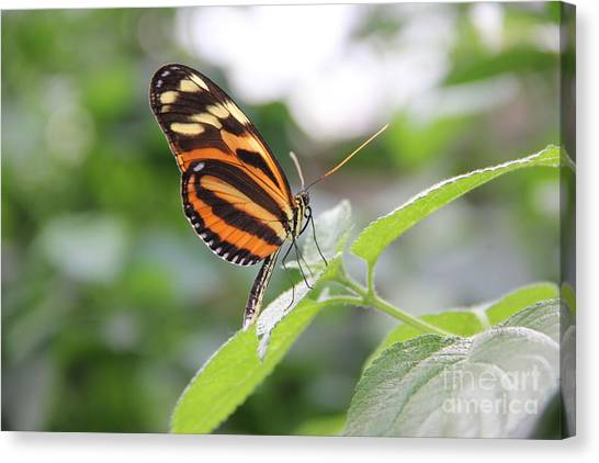 Good Morning Butterfly Canvas Print