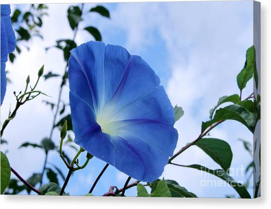 Good Morning Glory Canvas Print
