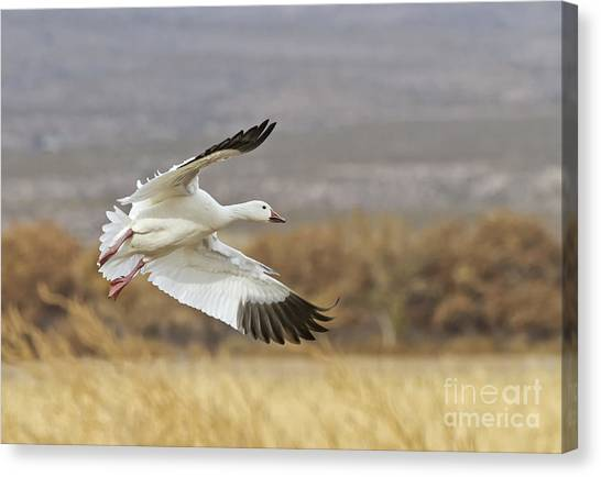 Goose Above The Corn Canvas Print