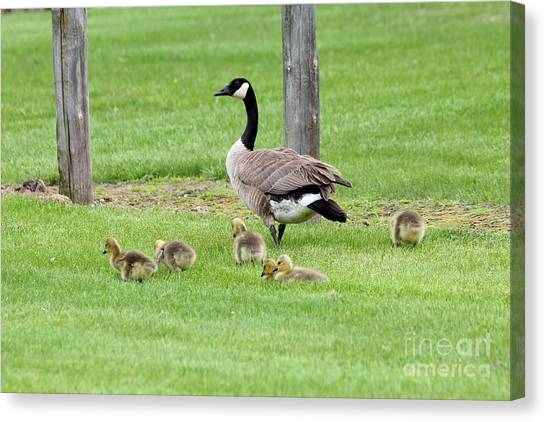Canvas Print - Goose With Babies by Lori Tordsen