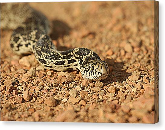 Canvas Print - Gopher Snake by Larry Robinson