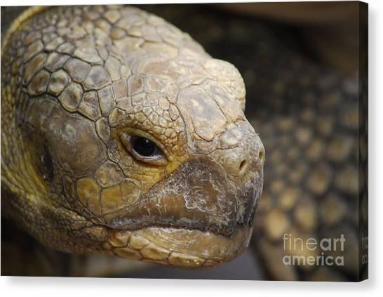 Tortoises Canvas Print - Gopher Tortiose by Quinn Sedam