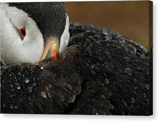 Puffins Canvas Print - Goretex by Mario Su?rez