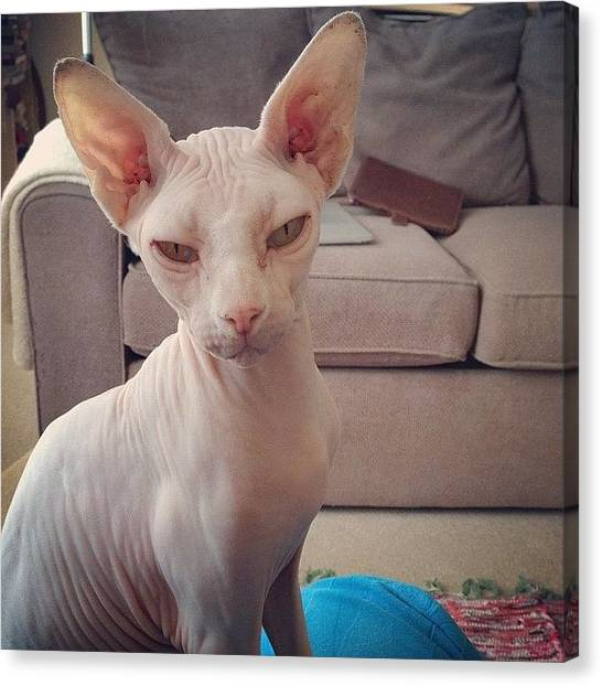 Sphynx Cats Canvas Print - Gorgeous Gee #sphynx #cat by Samantha Charity Hall