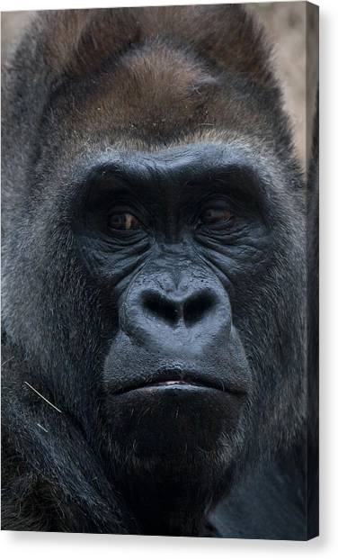 Gorilla Portrait Canvas Print