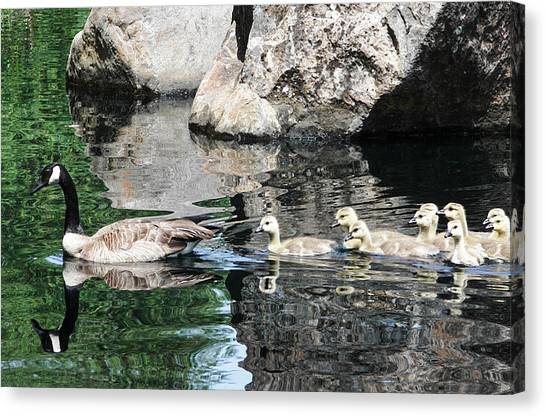 Goslings Reflection Canvas Print