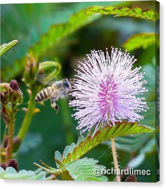 Mimosa Canvas Print - Got To Get To The Nectar! #bee #flower by Richard Lim