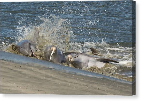 Bottlenose Dolphins Canvas Print - Gotcha by Patricia Schaefer
