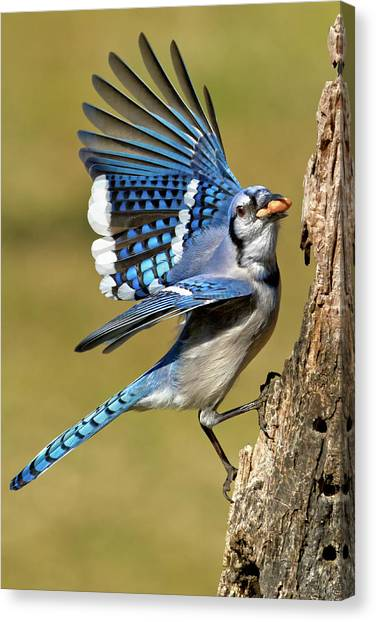 Bluejays Canvas Print - Gotta Go by Bill Wakeley