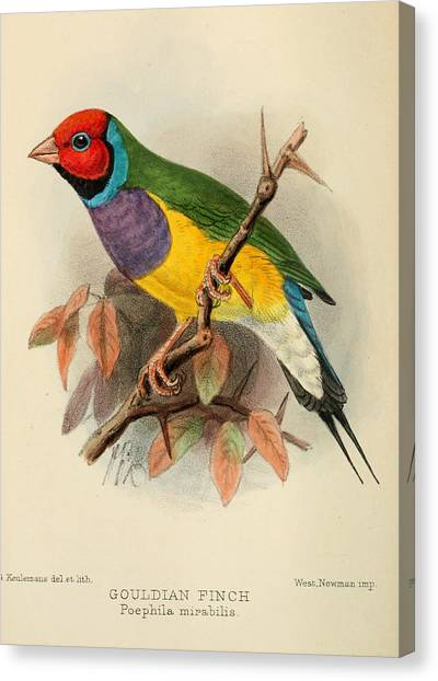 Finches Canvas Print - Gouldian Finch by Dreyer Wildlife Print Collections