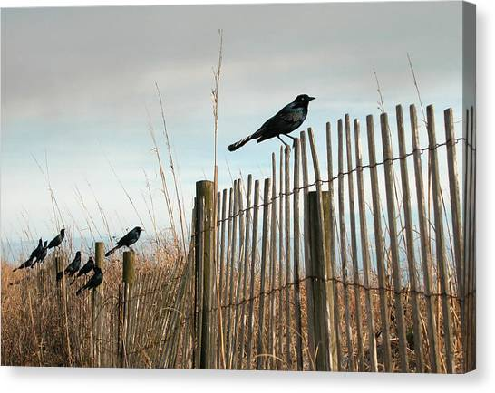Grackles On A Fence. Canvas Print
