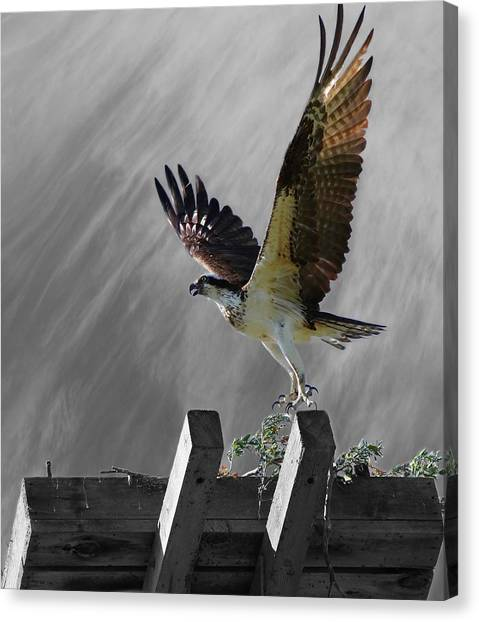 Grand Ole Osprey Canvas Print