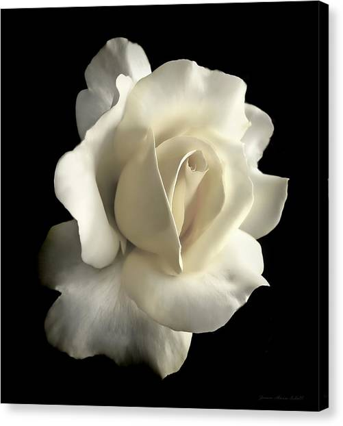 Ivory Canvas Print - Grandeur Ivory Rose Flower by Jennie Marie Schell