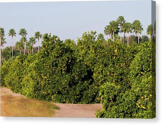 Grapefruits Canvas Print - Grapefruit Grove In Mission, Texas by Larry Ditto
