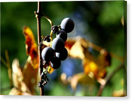 Grapes On The Vine No.2 Canvas Print