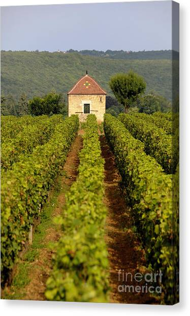Wine Country Canvas Print - Grapevines. Premier Cru Vineyard Between Pernand Vergelesses And Savigny Les Beaune. Burgundy. Franc by Bernard Jaubert
