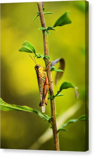 Grasshoppers Canvas Print - Grasshopper Days by Susan Capuano