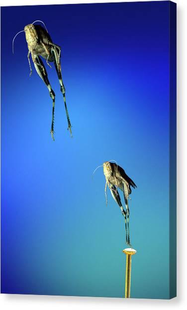 Grasshoppers Canvas Print - Grasshopper Jumping by Dr. John Brackenbury/science Photo Library