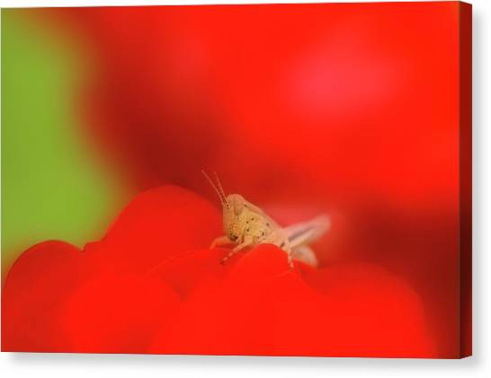 Grasshoppers Canvas Print - Grasshopper by Maria Mosolova/science Photo Library