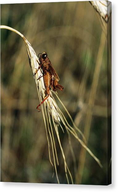 Grasshoppers Canvas Print - Grasshopper On Organic Crop by Antonia Reeve/science Photo Library