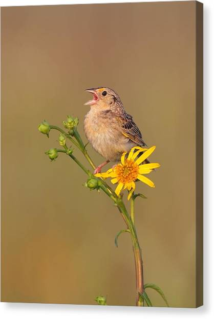 Grasshopper Sparrow Singing Canvas Print