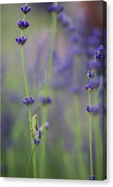 Grasshoppers Canvas Print - Grasshopper With Lavender by Brent Bergherm