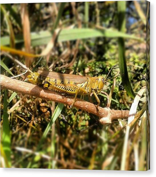 Grasshoppers Canvas Print - #grasshoppers #bugs #insects #creatures by Erica Mason