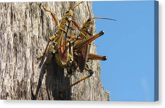 Grasshoppers Canvas Print
