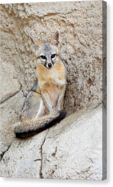 Gray Fox (urocyon Cinereoargenteus Canvas Print by Larry Ditto