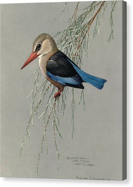 Kingfisher Canvas Print - Gray Headed Kingfisher by Dreyer Wildlife Print Collections