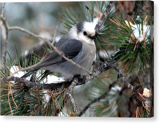 Gray Jay On A Snowy Pine Canvas Print