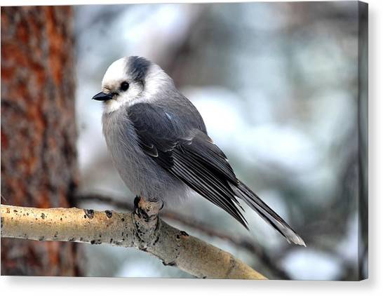 Gray Jay On Aspen Canvas Print
