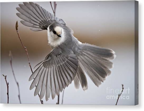 Canvas Print - Gray Jay Pictures 319 by World Wildlife Photography
