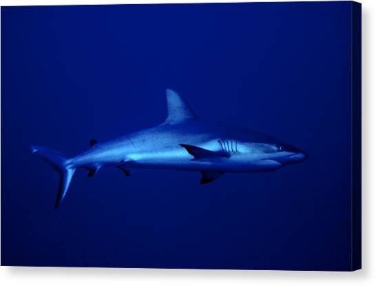 Gray Reef Shark Canvas Print