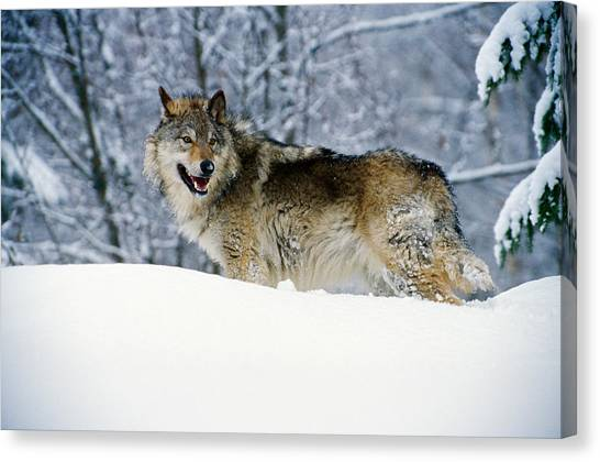 Wolf Canvas Print - Gray Wolf In Snow, Montana, Usa by Panoramic Images