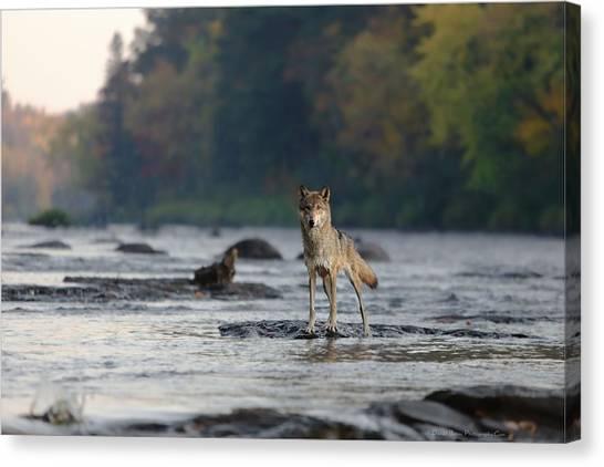 Minnesota Wild Canvas Print - Gray Wolf On Kettle River by Daniel Behm