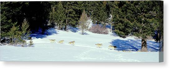 Teton National Forest Canvas Print - Gray Wolves Canis Lupus Running by Panoramic Images