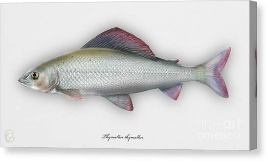 Grayling - Thymallus Thymallus - Ombre Commun - Harjus - Flyfishing - Trout Waters - Trout Creek Canvas Print