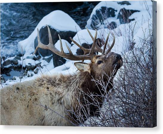 Grazing Elk Canvas Print