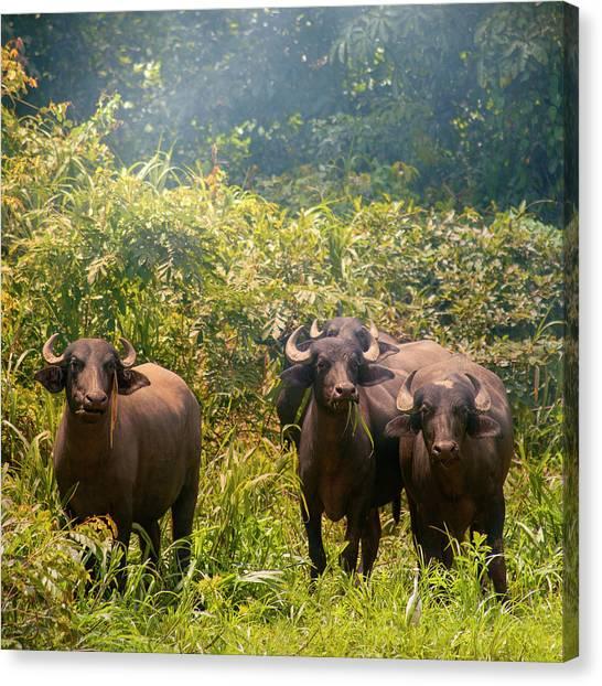 Grazing Water Buffaloes Canvas Print