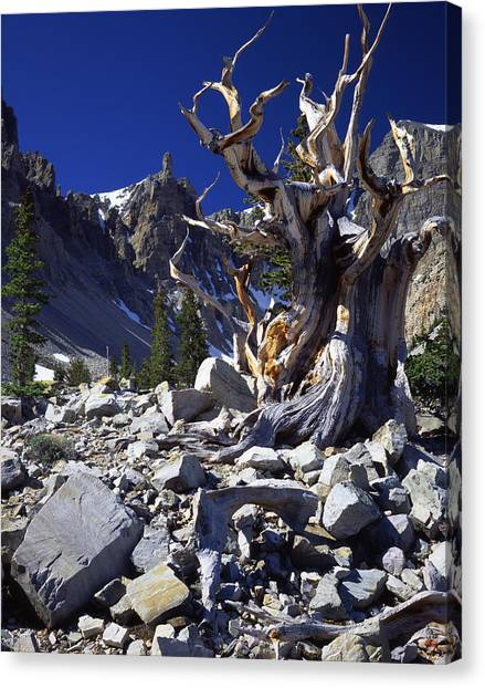 Great Basin Bristlecone Canvas Print