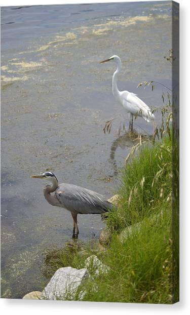 Great Blue And White Egrets Canvas Print