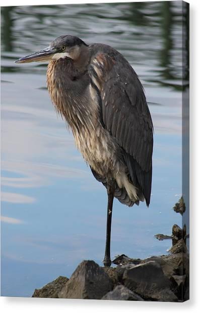 Great Blue Heron At Deep Water Lagoon Canvas Print