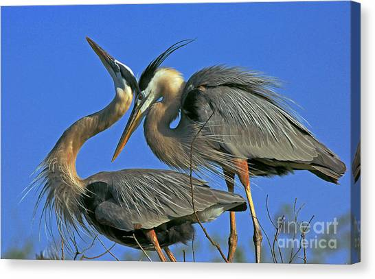 Great Blue Heron Courting Pair Canvas Print