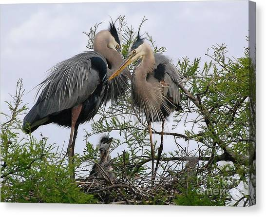 Great Blue Heron Family Canvas Print by Kathy Baccari