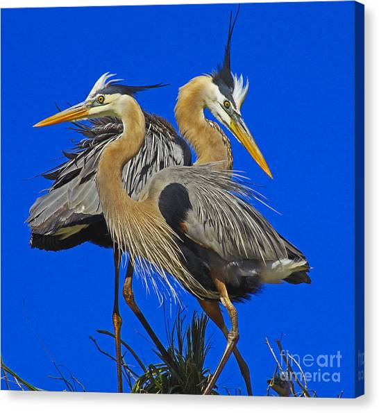 Great Blue Heron Family Canvas Print