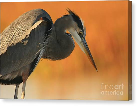 Great Blue Heron Focus Canvas Print
