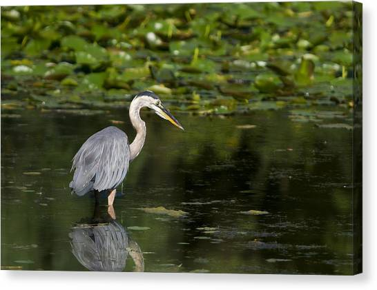 Great Blue Heron Hunting Canvas Print
